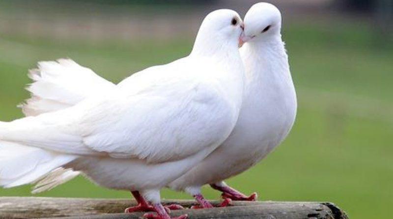 Cyprian z Kartaginy: jak gołębie, a nie jak wilki